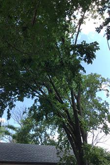 crappy elm tree